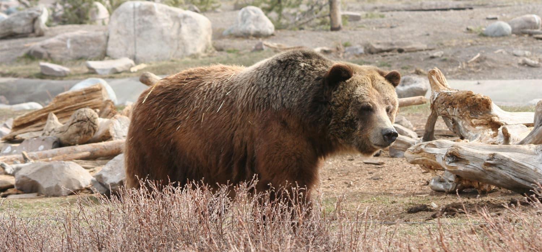 Grizli - Životinje u Kanadi