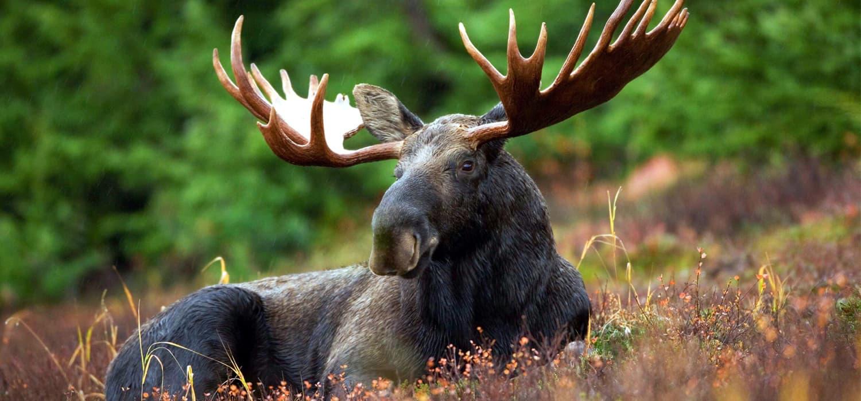 Los - Životinje u Kanadi