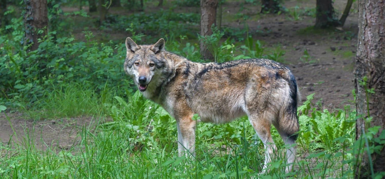 Sivi vuk - Životinje u Kanadi