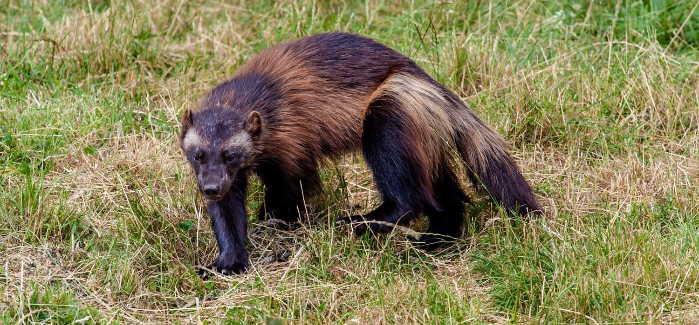 Žderavac - Životinje u Kanadi
